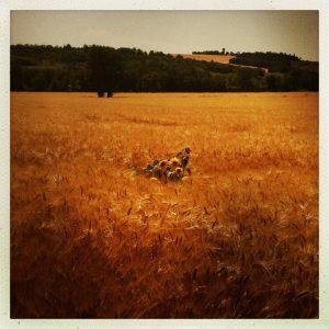 champs avignonet lauragais canal du midi
