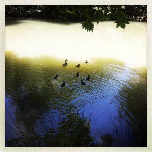 famille canards canal du midi