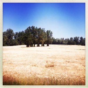 Les blés dorés attendent le regain
