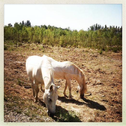 cheval bicéphale